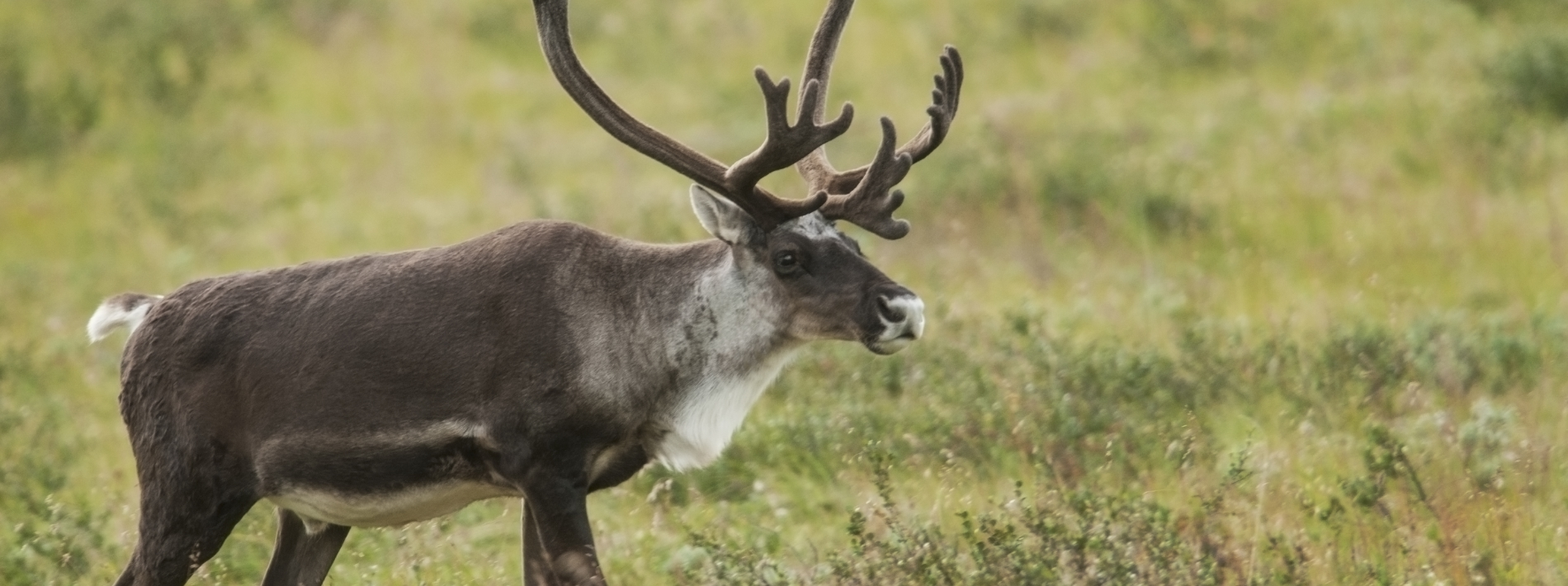 reindeer with grass