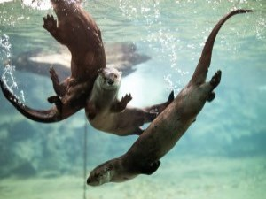 otters playing underwater