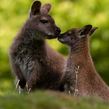 two Wallabies touching noses