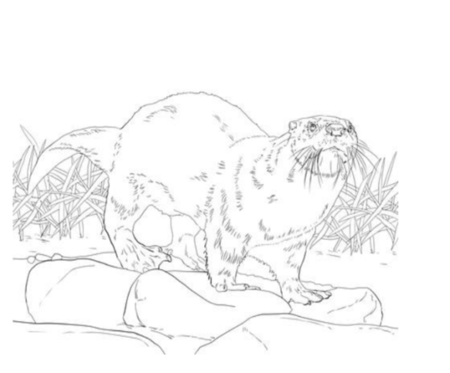 Black and White North American River Otter Coloring Sheet