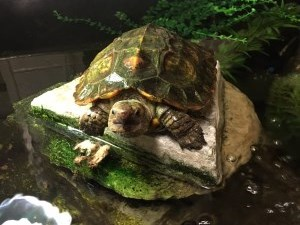 turtle sitting on a rock in a pond