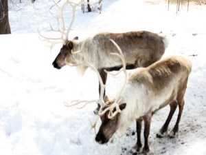 Two brown and white reindeer with full antlers in winter exhibit